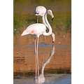Flamingos carlsbirdclub camargue france birds wildlife