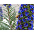bee blue flowers san diego ca