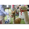 young alpaca eat feed pen show kelmscott perth littleollie