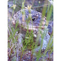 bobtail lizard reptile animal nature
