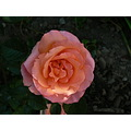 Paddy Stephens rose it just glows in the half light on dusk love it