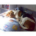 beagle little dog puppy sweet Nina