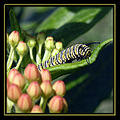 caterpillar monarch butterflyweed