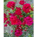roses flowers red nature green