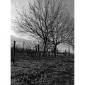 grape vineyard grass tree sky cloud bw