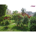 nezihmuin travel turkiye mardinflowers roses red outdoors landscape