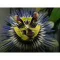 fpassionflower