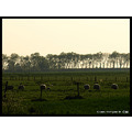 spring landscape nature tree holland sheep CH1988