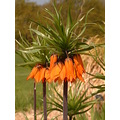 flower green orange rhs