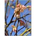 lowbushhuckleberry flowers nature pink