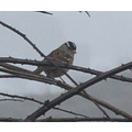 White-crowned Sparrow in a rainy day