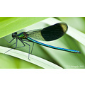 Damson fly Please enlarge