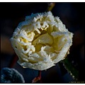 rose cold ice flower nature winter