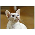 oriental cat cats pet pets siamese siam balinese cattery