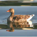 duck reflection waves