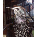 "Hopper, my ""pet"" European Starling of the last three years."