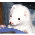 Ferret MindyLou Pet
