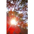 tree light effect sunburst red