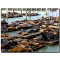 usa sanfrancisco animal sealion worldpeacefriday usax sanfx animx sealx