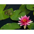 frog waterlily pond flower judyss