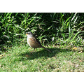 Pretty Boy (White Crowned Sparrow)