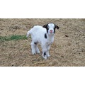 goat kid tennessee fainter caroline everitt farm paparazzi cute funny ga