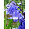Bluebells water droplets rain