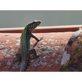 nature lizard umbria 2012