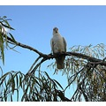 Corella (better in original size)