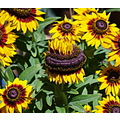 sunflowers yellow smile