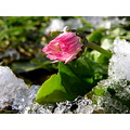 flower snow winter ice daisy
