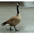 stlouis missouri us usa animal bird canadian goose 2007