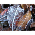frost freezing ice icy morning leaves frozen closeup