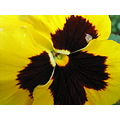 Yellow Pansy my work place