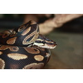 jake our ball python