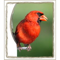 birds perch cardinal