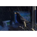 Blackbird please view original