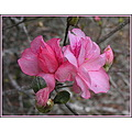Most of the Azaleas on my property are of the five petal variety.  It just dawned on me today tha...