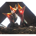 baby robins the three tenors our front porch