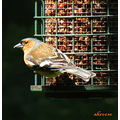 bird chaffinch feeder