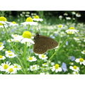 brown butterfly summer flower white blue yellow skane sweden 2006