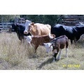 Calves sired by Miniature Hereford bulls