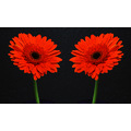 dancing red daisy duo flowers