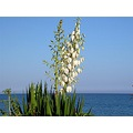 flower plant sea beach anamur turkey galpay