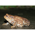 animal toad