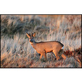wildlife roe deer buck sunset