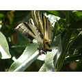 Mariposa Spain Meco madrid butterfly