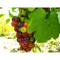 grape grapes fruit Beaujolais wineyard august France country countryside