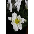 daisy beauty white petzka flower