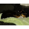 dog animal pet foxterriercross sleeping